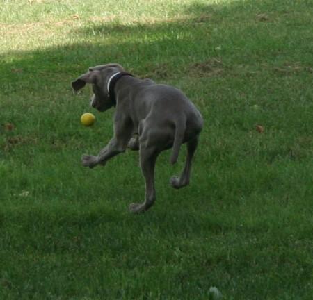 Saltando para cazar la pelota